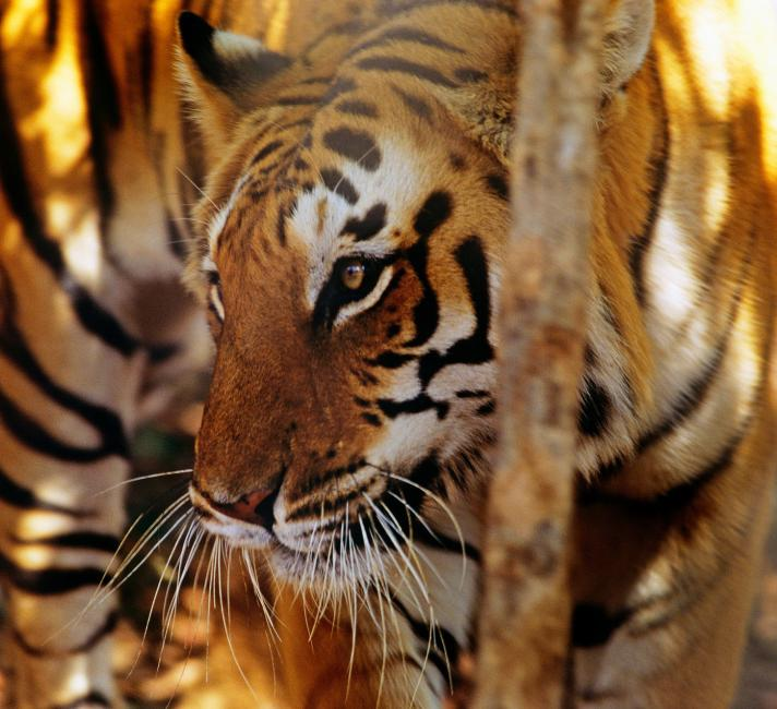 india's wild tiger population India is home to 70 percent of the world's wild tiger population, and they've just  reported an increase of 30 percent since 2010, thanks to.