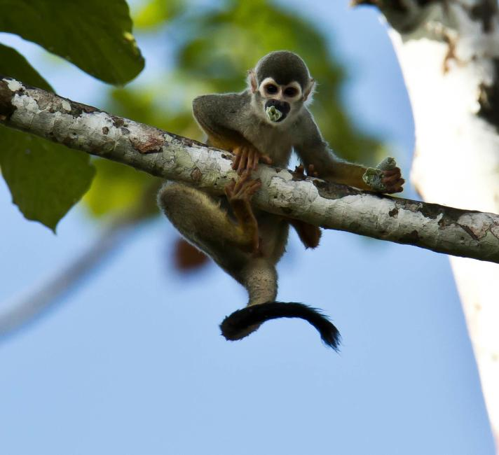Squirrel Monkey eating in a tree