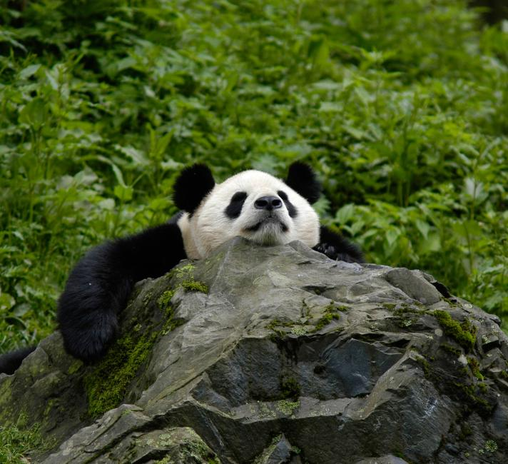 Panda asleep on a rock
