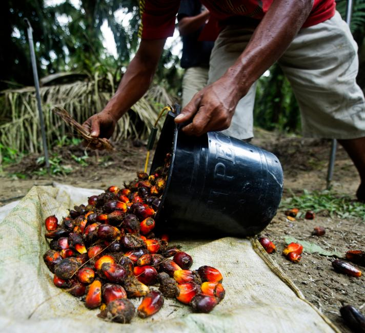 Palm oil being harvested