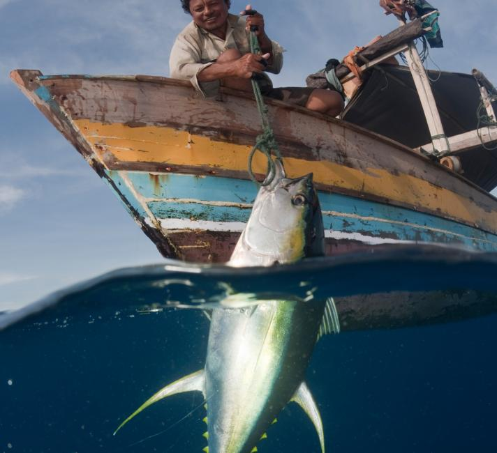 Fisherman pulling up a newly caught yellowfin tuna