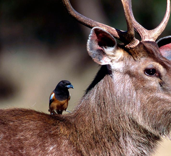Sambar deer with a Treepie bird sitting on its shoulder