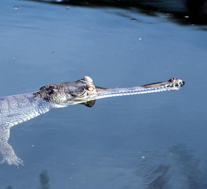 Gavialis gangeticus, Gharial, close-up