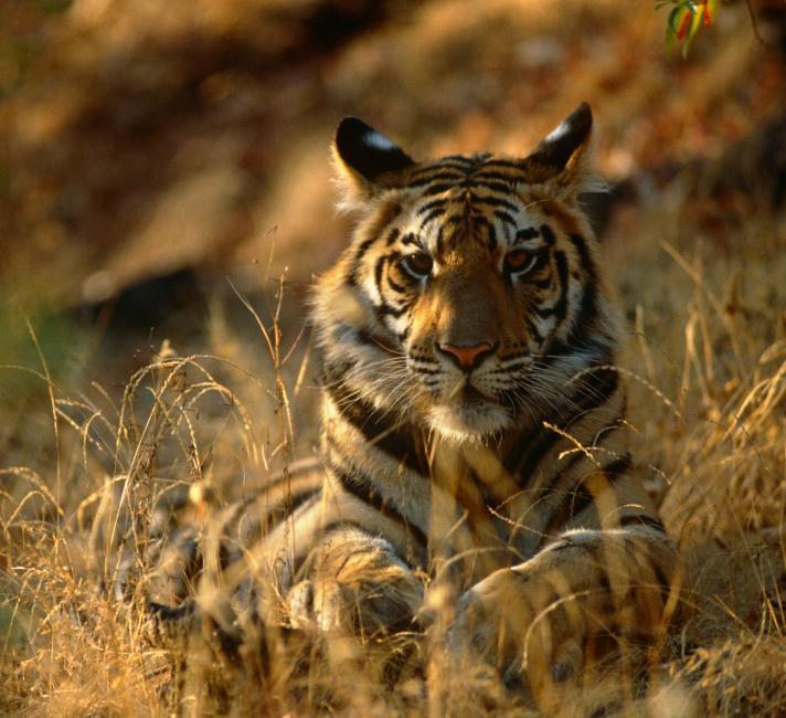tigers wwf