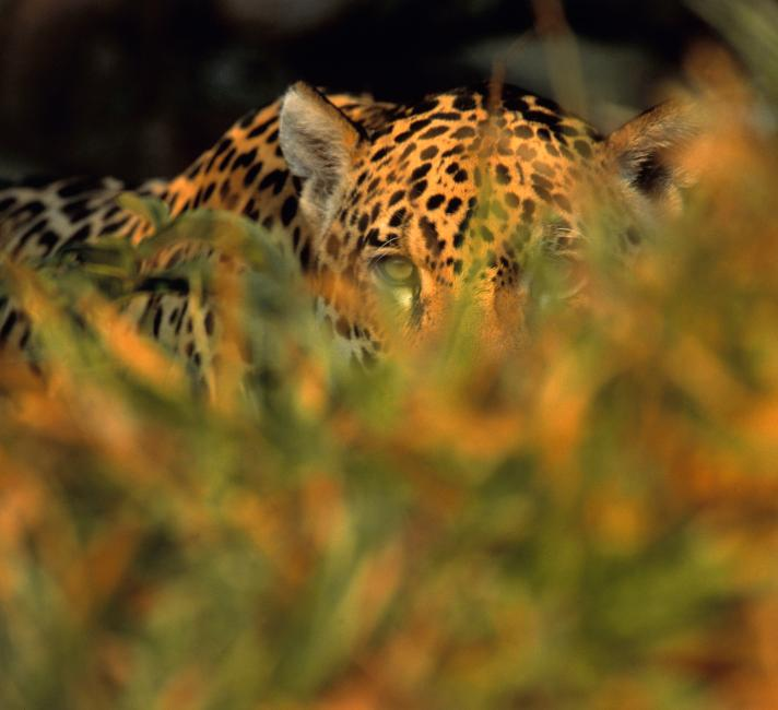 Jaguar stalking prey in long grass
