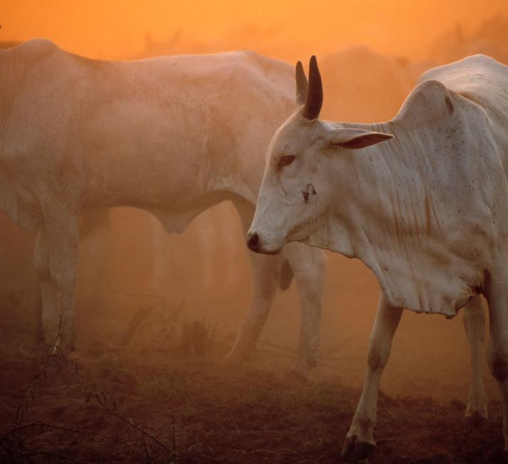 Zebu Brahmin cattle in dusty sunset, Pantanal, Brazil