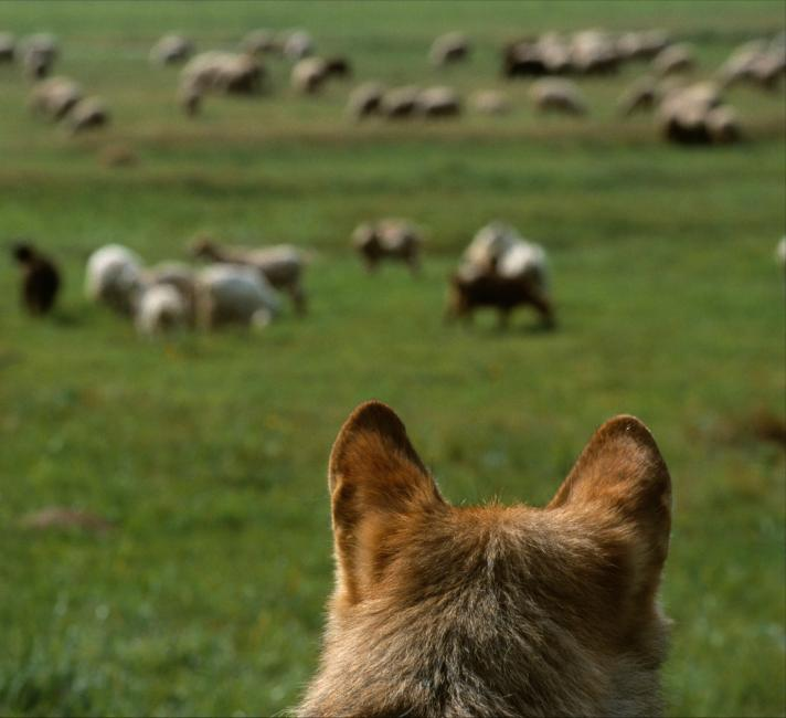 European Wolf looking at sheep grazing