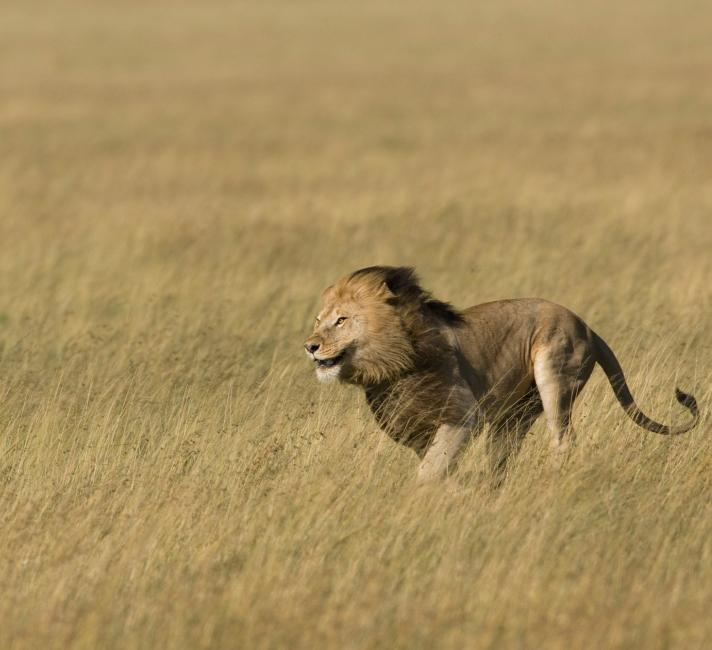 Male lion running