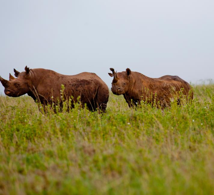 Black rhinos in Nairobi National Park, Kenya