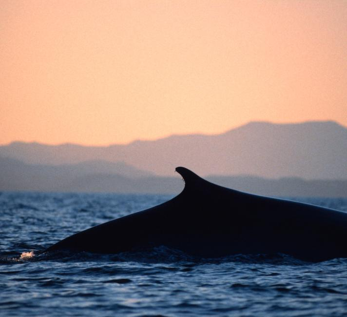 Fin whale surfacing, Sea of Cortez, Mexico