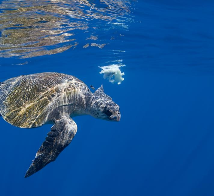 Olive ridley sea turtle swimming with a pilot fish