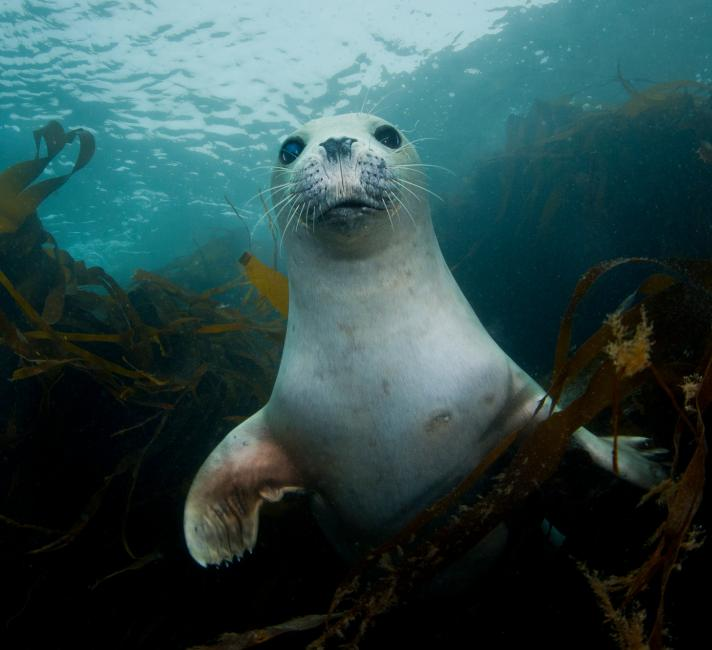A young harbour or common seal