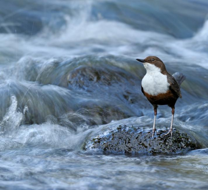 Dipper on a river