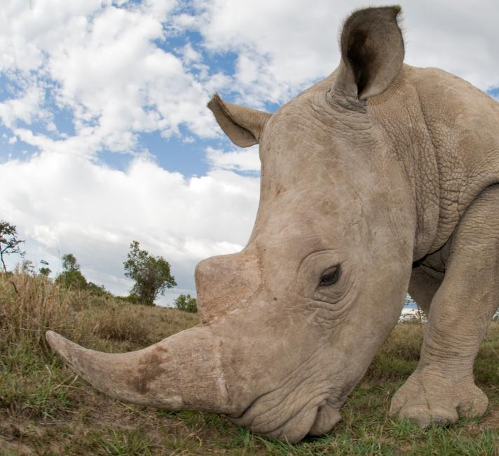 Close up of a grazing southern white rhinoceros in Kenya