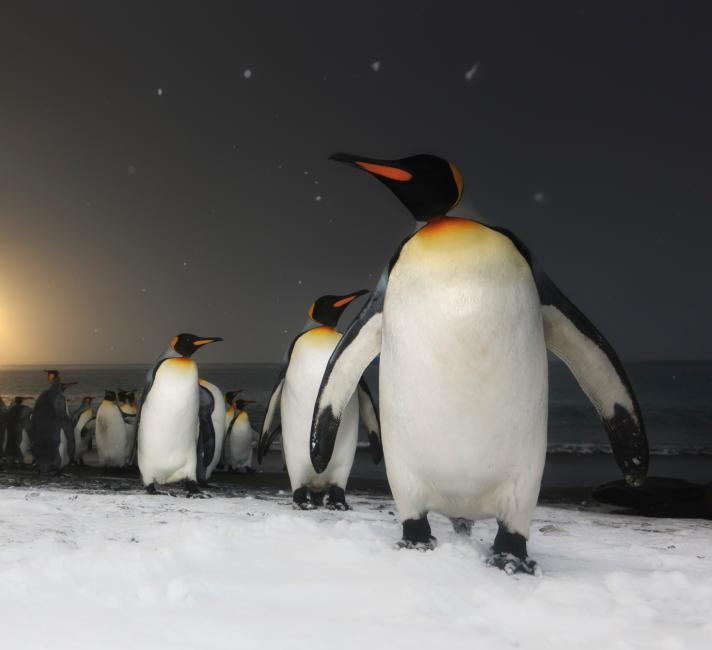 King Penguins at sunrise