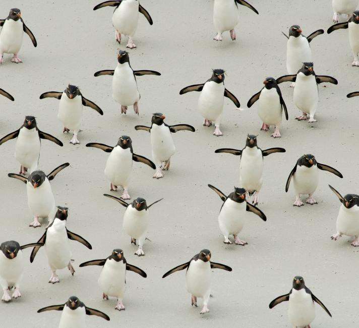 Group of Rockhopper penguins walking on beach