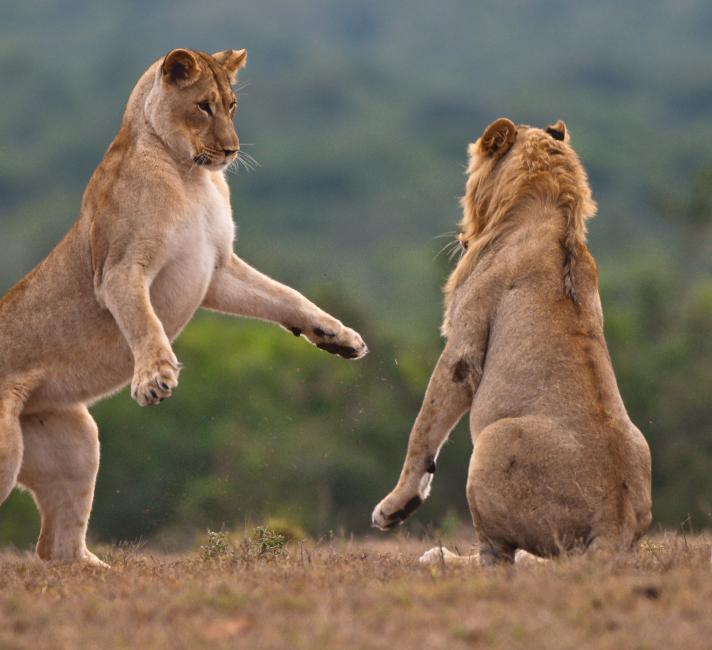 Lion and lioness play fighting