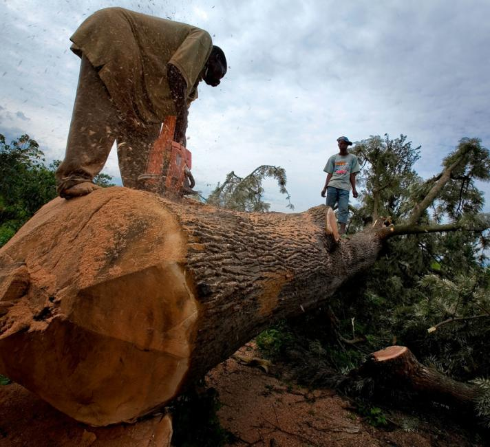 A man sawing through a recently felled tree on the edges of Virunga National Park