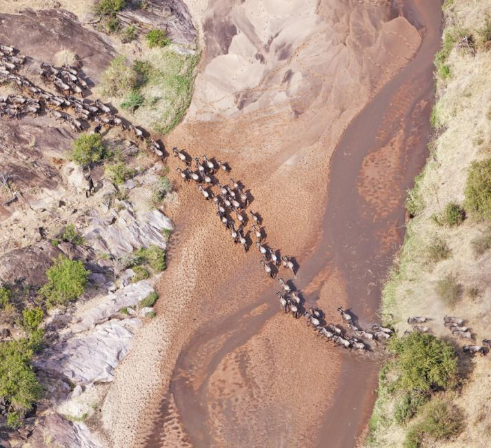 Aerial view of the Blue Wildebeest (Connochaetes taurinus) migration. Up to 1.5 million wildebeest move through the Mara/Serengeti ecosystem each year. This is one of the worlds last great animal migrations. Masai Mara National Reserve. Kenya