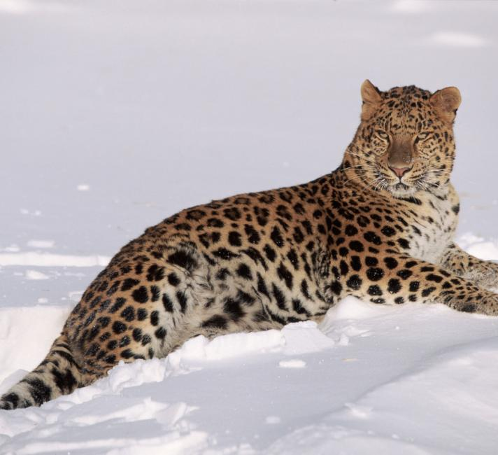 First genome sequence of Amur leopard highlights the drawback of a meat only diet