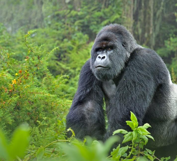 Mountain Gorillas WWF
