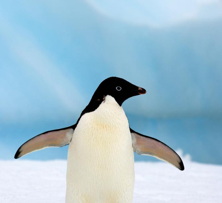 Adelie penguin (Pygoscelis Adeliae) on glacial ice along the western Antarctic Peninsula, Southern Ocean