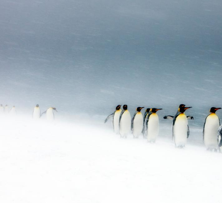 King Penguins (Aptenodytes patagonicus) walking in line in snow storm, South Georgia.