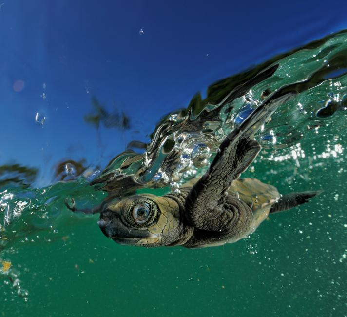 Marine turtle hatchling swimming through wave swell