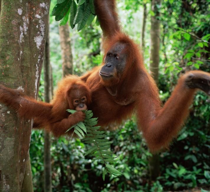 Sumatran Orang utan mother and baby sitting in tree