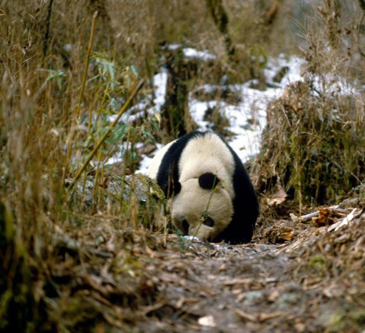 Panda sniffing the ground