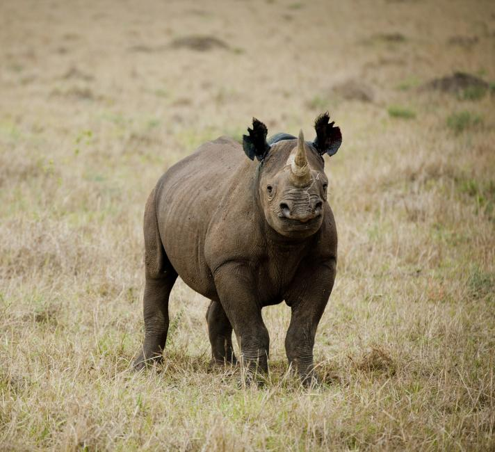 A recently notched black rhino