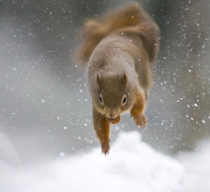 Squirrel in the snow in Scotland
