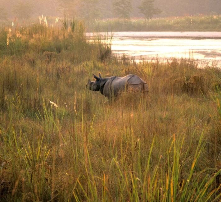 Greater one-horned rhino standing in the tall grass near a river