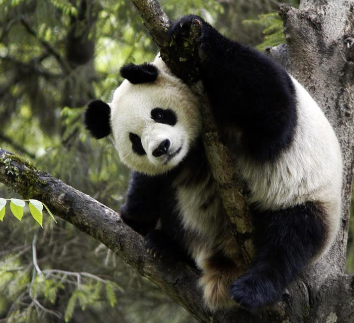 Giant panda in tree, Wolong Nature Reserve, China.