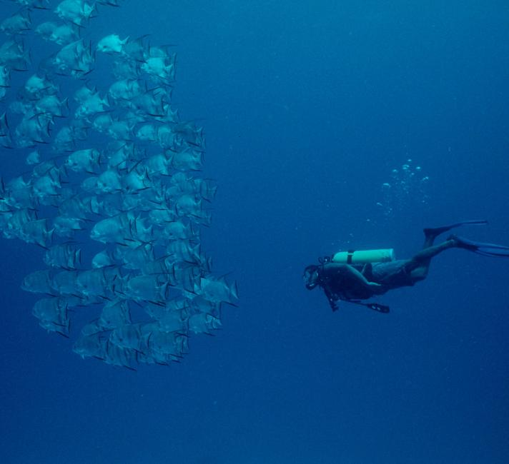 Atlantic spadefish school with a diver