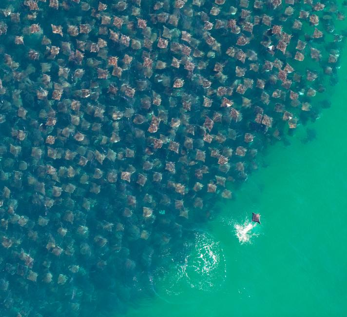 A huge group Eagle Rays in the Pacific Ocean