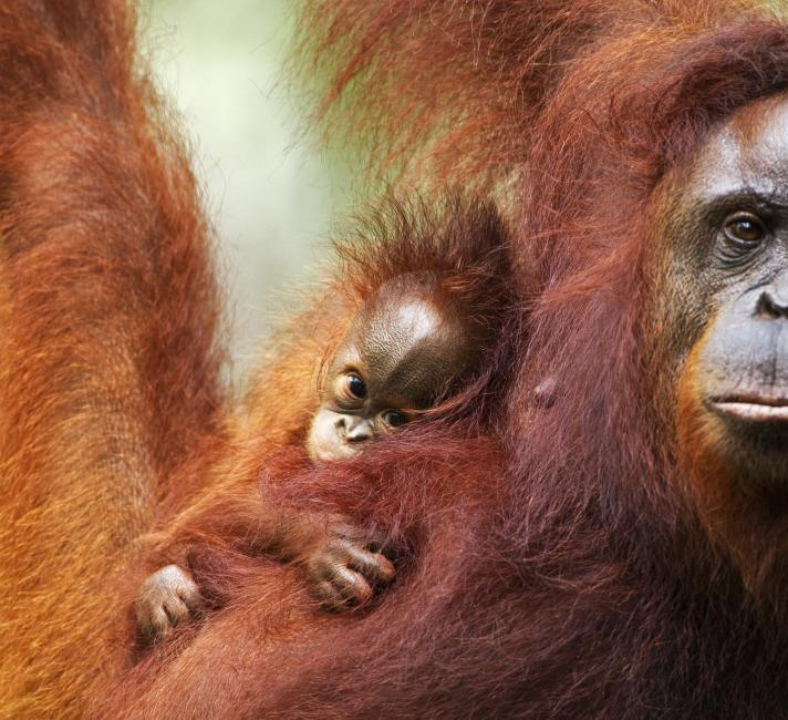 Bornean orang-utan mother and child