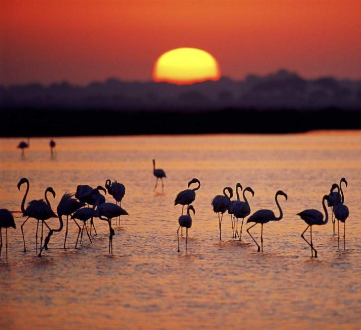 Flamingos in Donana at sunset
