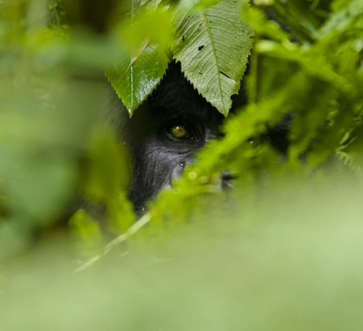 Gorilla hiding in the undergrowth