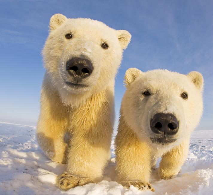 Two curious young Polar bears © naturepl.com / Steven Kazlowski / WWF