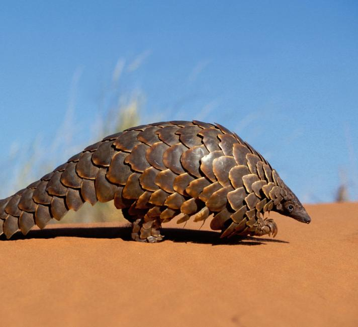 Cape pangolin