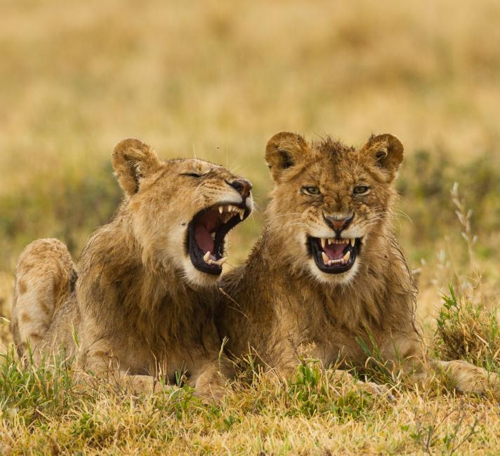 Two lions (Panthera leo) in the Ngorongoro Conservation Area in Tanzania, Africa