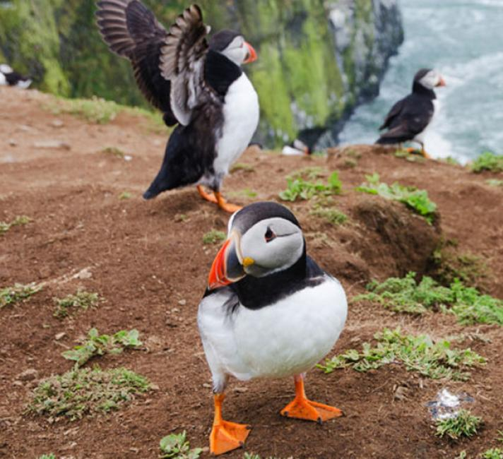 Puffins in Wales © iStock
