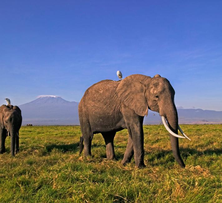 African elephants in Amboseli National Park, Kenya © Martin Harvey / WWF