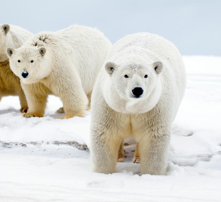 Top 10 facts about polar bears | WWF