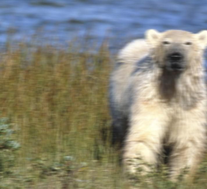 Polar bear sighted on Scottish Island