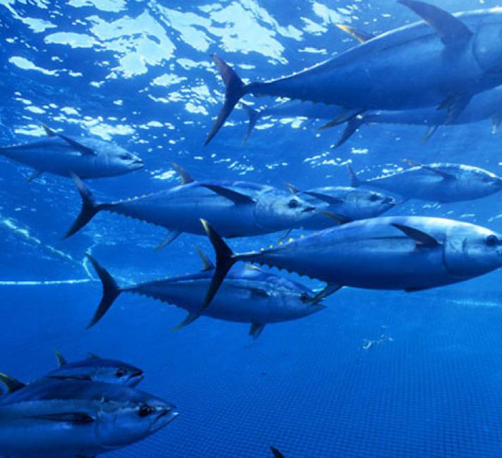 yellowfin tuna under the sea, in net