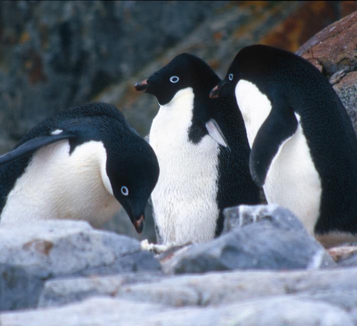 Gentoo Penguin Eggs Boiled