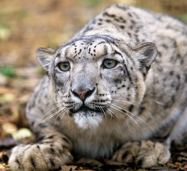 Top 10 Facts About Snow Leopards Wwf