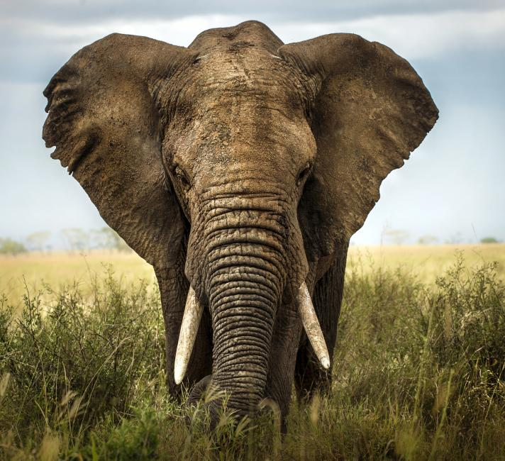African bull elephant on the savannah